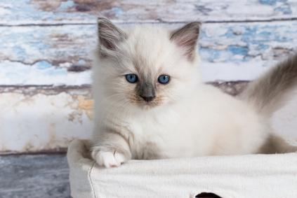 Velká francouzská kočička
