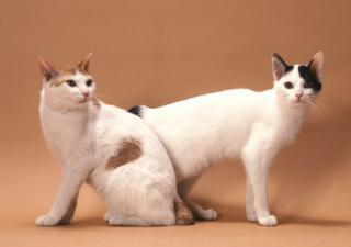 Oholil japonsko kočička